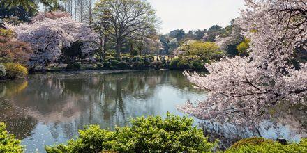 Runt hela staden blommar körsbärsträden mellan mars - april, något hela staden firar.