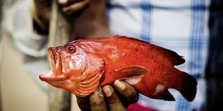 Röd snapper, en del av dagens fångst för en fiskare i Weligama Bay, Sri Lanka.