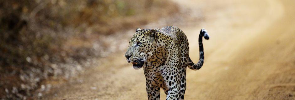 Yala nationalpark på Sri Lanka.