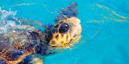 Havssköldpaddan Caretta caretta på Zakynthos i Grekland.